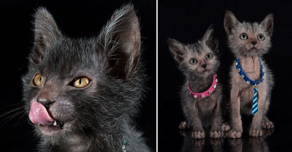 Just in Time for Halloween: Werewolf Cats