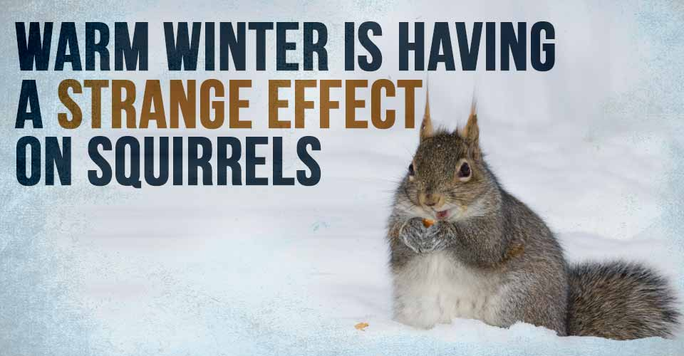Warm Winter is Having a Strange Effect on Squirrels