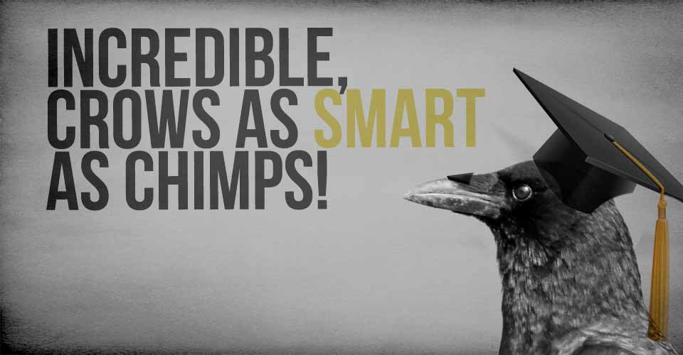Incredible, Crows as Smart as Chimps!