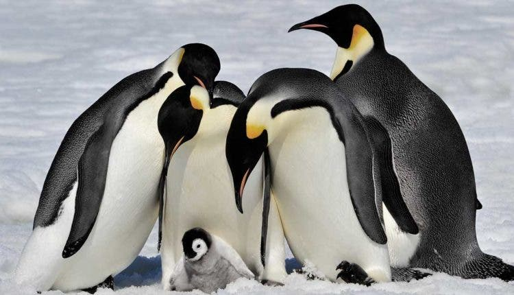 Second Largest Emperor Penguin Colony In Antarctica Is Gone For Good