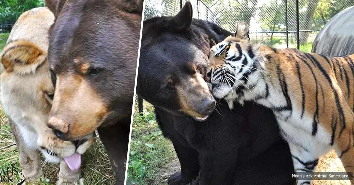 Bear, Lion And Tiger Brothers Have Been Living Side By Side For 15 Years
