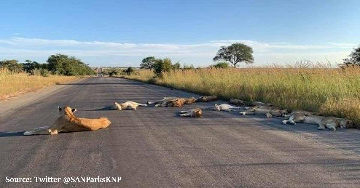 A group of lions from the Kruger National Park in South Africa was seen sleeping on an empty road that is normally filled with tourists.