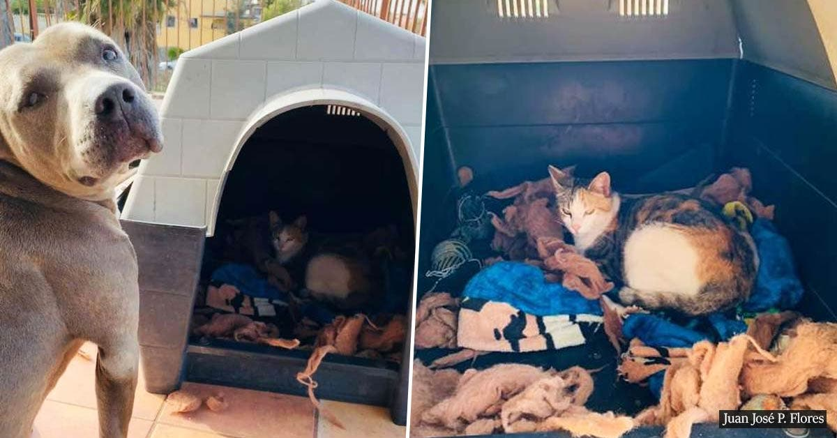 Loving pit bull invites a pregnant stray cat into his house so she could be protected while having her babies