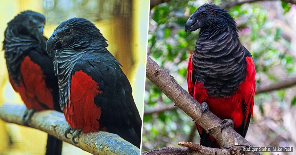 Dracula parrots do exist and they might be the most Gothic birds out there