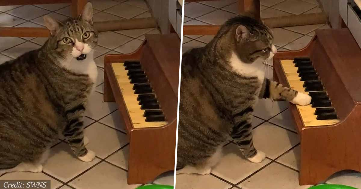 Cat Has Little Piano Which He Plays When He's Hungry