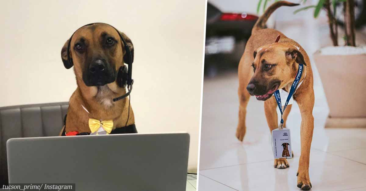 Stray Dog Who Keeps Visiting Car Dealership Is Adopted By Staff And Given A Job