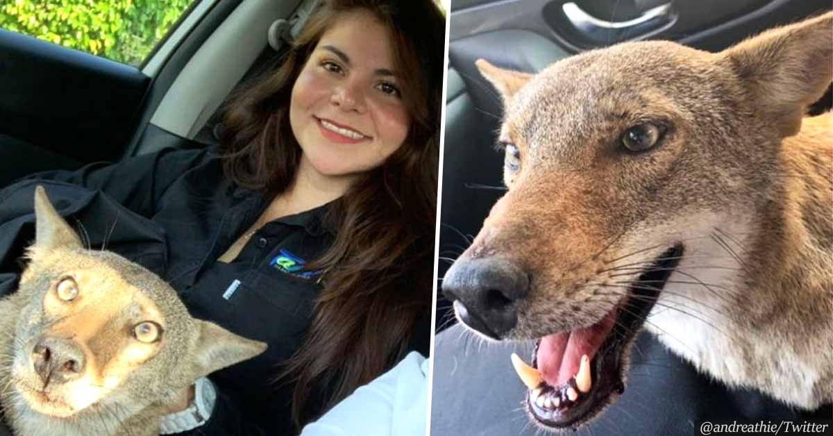 """Young Woman Rescues a Wounded """"Dog"""" on the Streets, Finds Out It Was Wild Coyote"""
